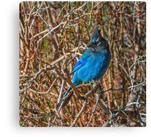 Mountain Blue Jay Canvas Print