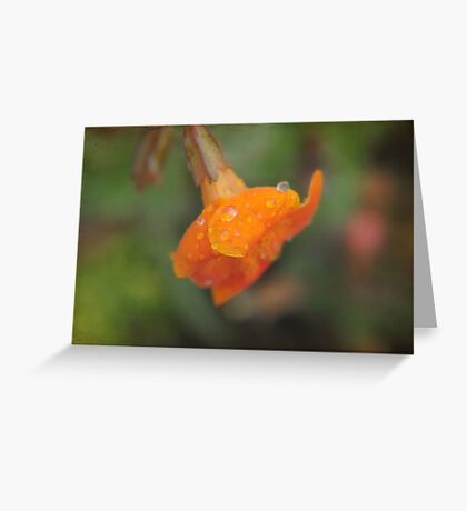Apricot petals after the rain. Greeting Card
