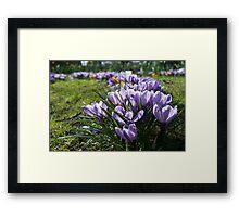Purple Crocus in Spring Framed Print