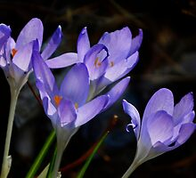 Crocus - March 2016 by cclaude