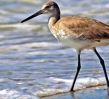 Florida Willet by T.J. Martin