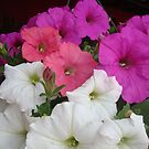 PETUNIAS! by May Lattanzio