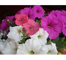 PETUNIAS! Photographic Print