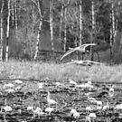Tundra Swans 2016-1 by Thomas Young