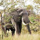 Bush Elephant - Loxodonta africana by cs-cookie