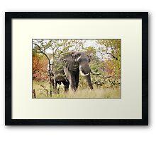 Bush Elephant - Loxodonta africana Framed Print