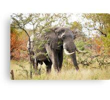 Bush Elephant - Loxodonta africana Canvas Print