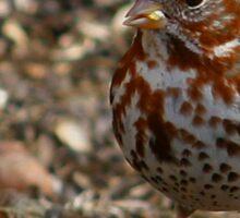 Fox Sparrow Sticker