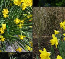 A Collage of Golden Daffodils Sticker