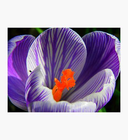 spring crocus Photographic Print