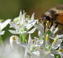 Honey bee on chive flower Sticker