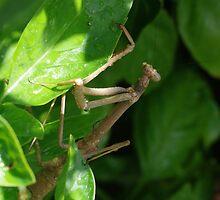 Praying mantis by BigAndRed