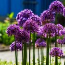 purple flowers by Manon Boily