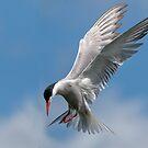 Tern by Ian Hufton
