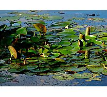 Upturned Lily Pads Sunbathing Photographic Print