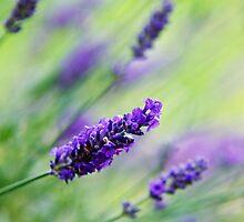 Purple Haze by Melanie Simmonds