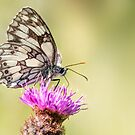 Marbled White Butterfly by Ian Hufton
