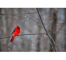 Cardinal In The Snow Photographic Print