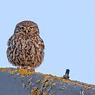 Little Owl by Ian Hufton