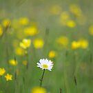 Lone Daisy by Mark Wilson