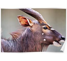 Is that  fly on my nose / Nyala -Tragelapus angasi Poster