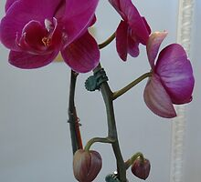 Orchid Delight by Liesl Gaesser