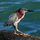 GREENBACK HERON by TomBaumker