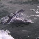 Dolphins in Virginia Beach, VA by Kimberly Scott