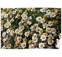 White flowers and yellow center, natural background. Poster