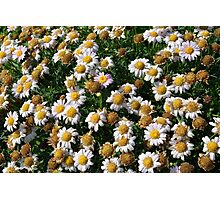 White flowers and yellow center, natural background. Photographic Print