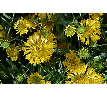 Large beautiful yellow flowers in the garden. Photographic Print