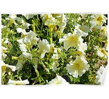 White flowers and green leaves bush in the garden. Poster