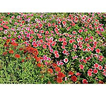 Field of beautiful red flowers. Photographic Print