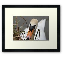 The mute swan Framed Print