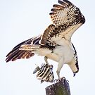 Look What I Caught - Osprey landing by Robert Kelch, M.D.