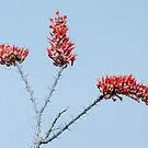 Ocotillo Cactus Bloom - Best viewed large by barnsis