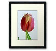 One flower of red tulip Framed Print