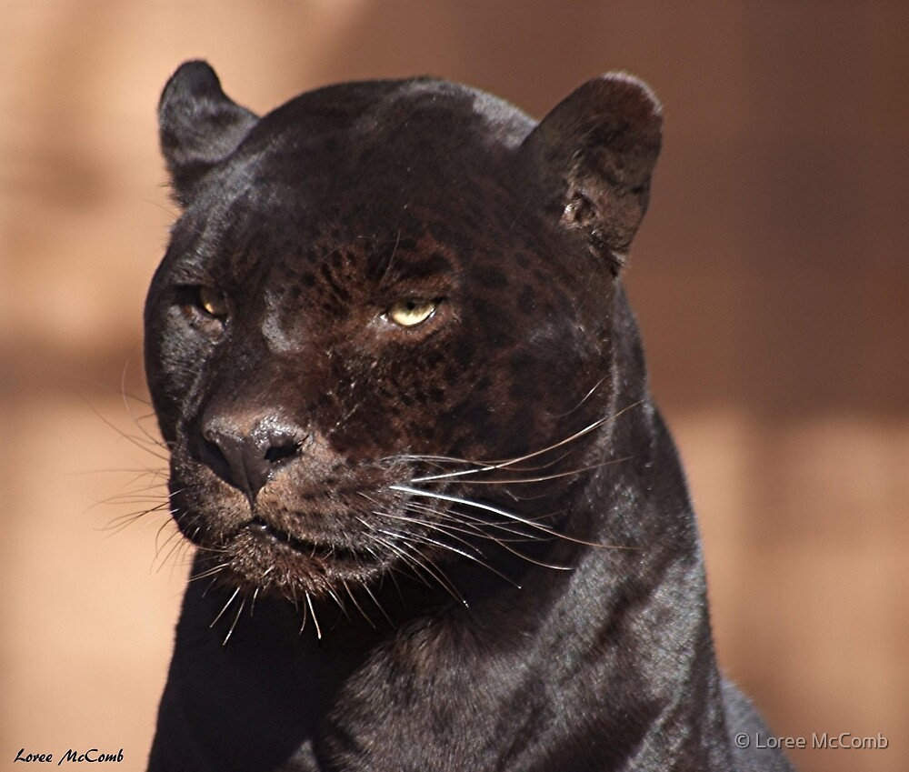 Panther by © Loree McComb