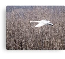 Trumpeter Swan Flies Past Brush Canvas Print