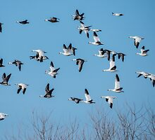 Snow Geese In Flight At Chelsea, Iowa by Deb Fedeler