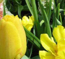 Sunlit Yellow Tulips - Keukenhof Gardens Sticker