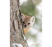 Pine Marten - Algonquin Park Photographic Print