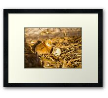 Just Hatched... Framed Print