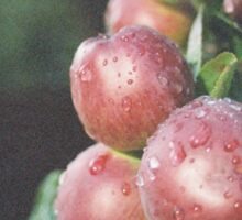 Water Drops on Apples Sticker