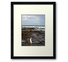 Yellow-eyed Penguin Framed Print