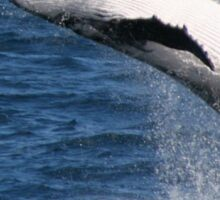 Breaching Humpback Whale Sticker