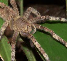 Brazilian wandering spider, Peru Sticker