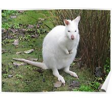 Albino Wallaby Poster
