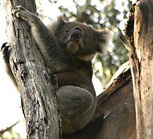 Koala by Nicola Barnard