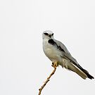 Black Shouldered Kite 1 by mncphotography